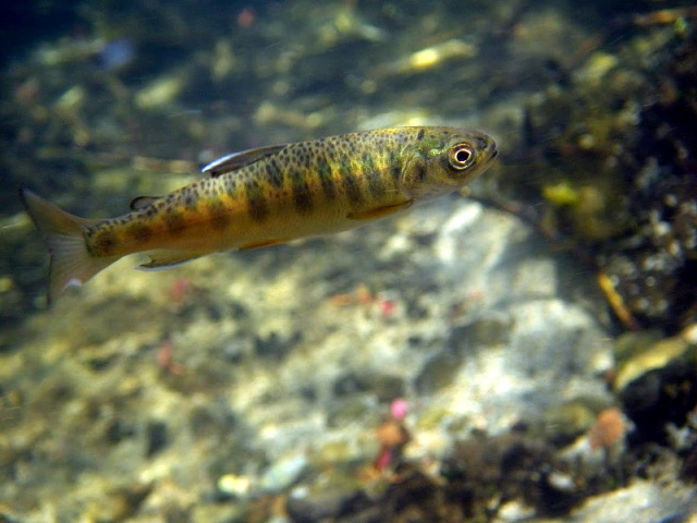 Juvenile salmon from Big Springs Creek, Siskiyou Co.