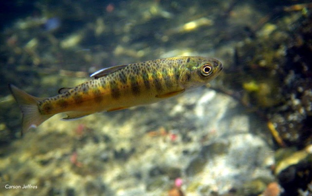 Juvenile salmon from Big Springs Creek, Siskiyou Co. Juvenile coho from Big Springs Creek have been found to grow at twice the rate as those from adjacent watersheds, highlighting the restoration potential within the Creek. Photo: Carson Jeffres