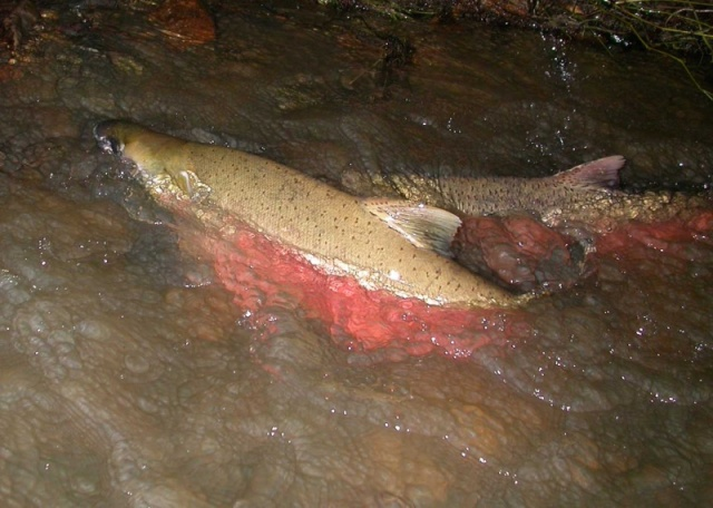 Adult Coho Salmon, Morrison Gulch (Humboldt County)