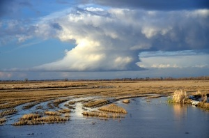 A rice farm in the Yolo Bypass near Sacramento. Photo by Carson Jeffres