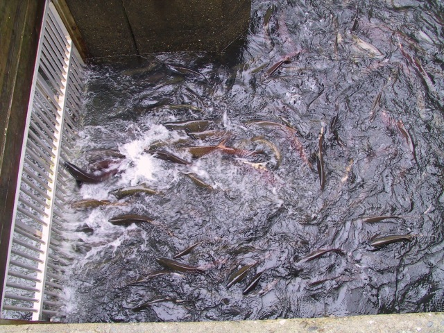 Coho salmon at a fish gate along the Shasta River. Source: UC Davis