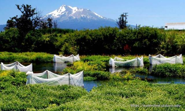 UC Davis salmon-growth experiment on Big Springs Creek near Mount Shasta. Source: Robert Lusardi