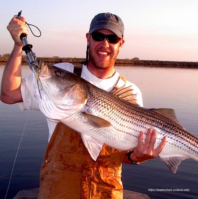 UC Davis fish ecologist Carson Jeffres with a Delta striped bass. Photo by Martin Koening
