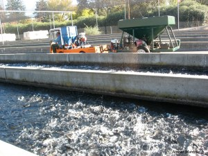 Feeding fish in the raceways of Nimbus Hatchery on the American River. Photo by Amber Manfree