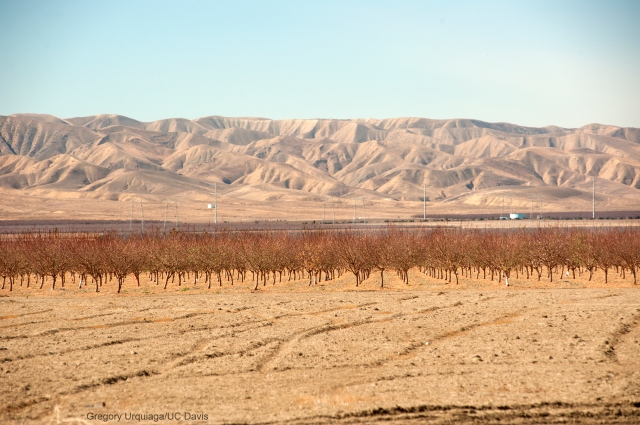 Dry fields and bare groves looking west toward the Coast Range, near San Joaquin, Calif. Photo by Gregory Urquiaga/UC Davis, 2014