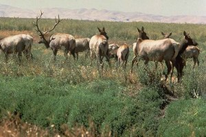Tule Elk at Suisun Marsh. Source: California Department of Water Resources