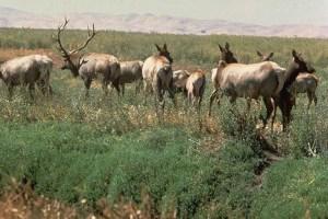 Tule Elk at Suisun Marsh. Source: California Department of Water Resources