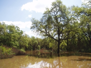 Flooded oaks on Cosumnes River. Photo: UC Davis