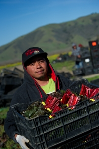 harvesting swiss chard.