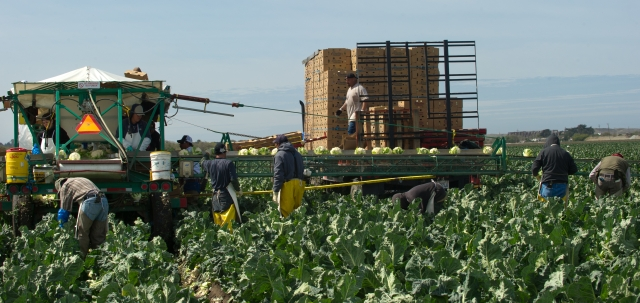Despite the drought, jobs and revenue in 2014 continued to grow in some parts of California agriculture. Workers shown here in 2013 are harvesting cauliflower on the Central Coast, which was less affected by the drought. Photo by John Chacon/California Department of Water Resources.