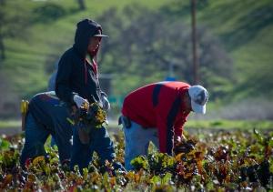 Workers harvesting