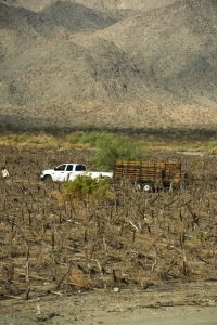 Distressed vineyard in Coachella Valley on July 10th 2014.