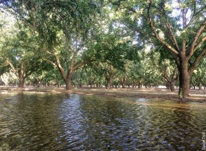 Orchards of walnuts (above) and almonds (below) may be viable sites for groundwater recharge, though the potential for water damage to such high-value crops adds risk.