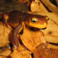 "Nothing says ""Boo!"" like the bug-eyed California newt with it's Halloween-orange underside. Photo by Amber Manfree"