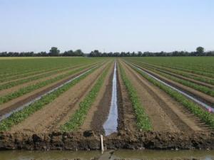Alternate furrow irrigation