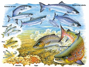 The Salmon Life Cycle. Illustration Courtesy of the Atlantic Salmon Trust and Robin Ade