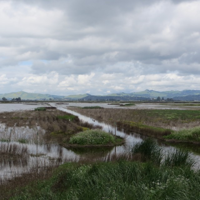 This view of a duck hunting club in Suisun Marsh shows both a highly modified environment and reflects its potential for being managed as a reconciled ecosystem. Photo by P Moyle.